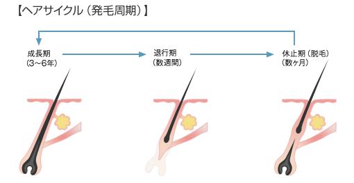 ヘアサイクル(発毛周期)