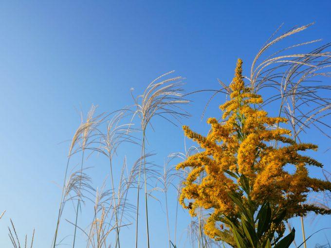 秋は、ブタクサやヨモギやカナムグラなどの花粉が飛んでいます